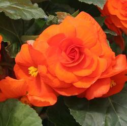 Begonia tuberhybrida Yellow-Orange 50 pellets