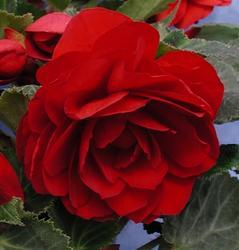 Begonia tuberhybrida Dark Red 50 pellets