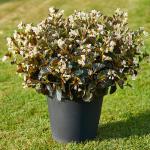 Begonia i.Sensation White Bronze Leaf F1 250 pell.