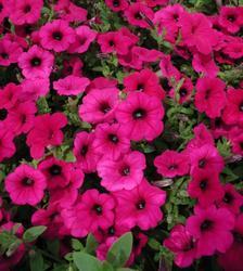 Petunia h. Purple Velvet F1 50 pelet - 1