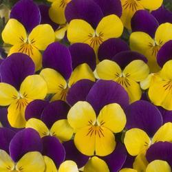 Viola c. Floral Gold Purple Wing F1 250 seeds - 1