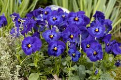 Viola c. Floral Deep Blue Blotch F1 250 seeds - 1