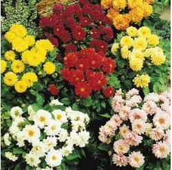 Dahlia variabilis Figaro Mix 100s