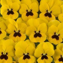 Viola c. Floral Yellow Blotch F1 250s - 1