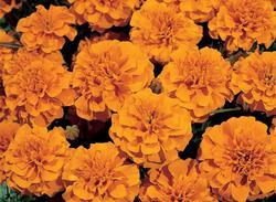 Tagetes patula Hero Orange 300s