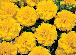 Tagetes patula Hero Yellow 300s