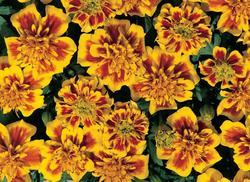 Tagetes patula Hero Bee 300s