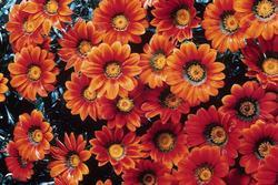 Gazania New Day Bronze Shades 200s