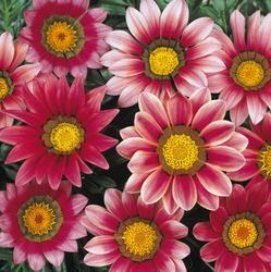 Gazania New Day Pink Shades F1 200 seeds