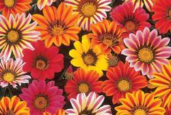 Gazania New Day Mix F1 200 seeds