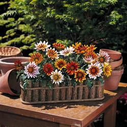 Gazania New Day Tiger Mix F1 200s - 1