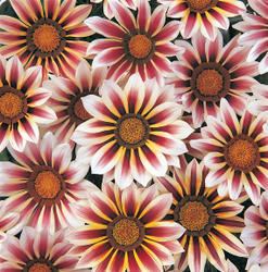 Gazania New Day Rose Stripe F1 200 seeds
