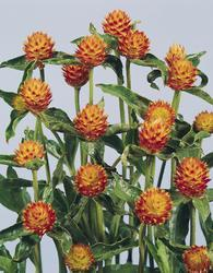 Gomphrena haageana Orange 250 seeds
