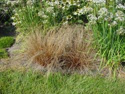 Carex Bronco 200 semen - 1