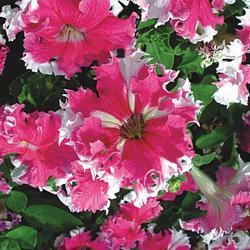 Petunia hybrida Karkulka 1/16g