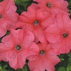 Petunia hybrida Mládí F1 1/16g