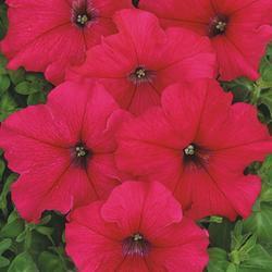Petunia hybrida Radost F1 1/16g