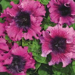 Petunia superbissima Tmavě purpurová 1/16g