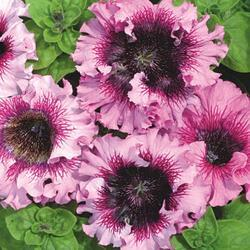 Petunia superbissima Rosea 1/16g