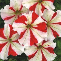 Petunia hybrida Úsměv F1 1/16g