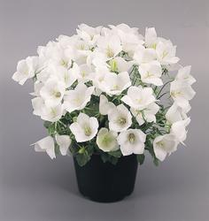 Campanula carpatica White Clips 500 seeds - 1