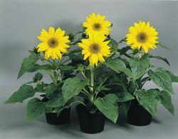 Helianthus annuus Pacino Gold 250 seeds