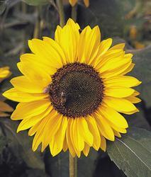 Helianthus annuus Sonja 250 seeds
