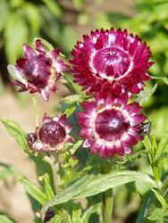Helichrysum bracteatum Red 2g