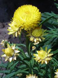 Helichrysum bracteatum Yellow 2g - 1