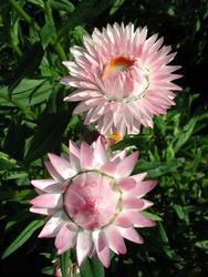 Helichrysum b. Monstrosum Stříbř.růžové 2g