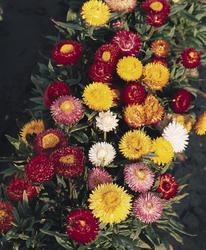 Helichrysum bracteatum Bunter Bikini 2g