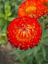 Helichrysum bracteatum Bronze 2g
