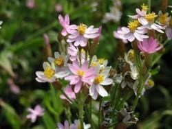 Helichrysum cassinianum Gabriele 1g - 1