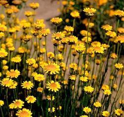 Helichrysum subulifolium Valentin 1g