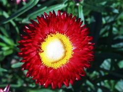 Helichrysum bracteatum Rudé 2g - 1
