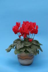 Cyclamen persicum mini Hillde 100s - 1