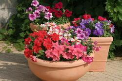 Petunia h. Směs velkokv.odrůd F1 1/16g