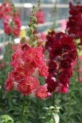 Antirrhinum m.Madame Butterfly Mix F1 500s - 1
