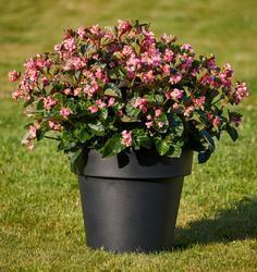 Begonia i.Sensation Pink Green Leaf F1 50 pelet - 1
