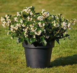 Begonia i.Sensation White Green Leaf F1 50 pelet - 1
