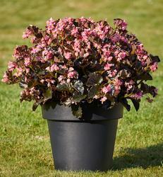 Begonia i.Sensation Pink Bronze Leaf F1 250 pelet - 1
