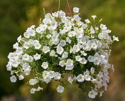 Petunia h. White Velvet F1 50 pelet - 1