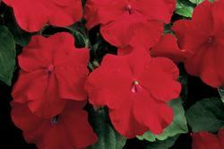 Impatiens w. Accent Red F1 250 seeds - 1