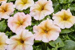 Petunia hybrida Ingrid 1/16g - 1