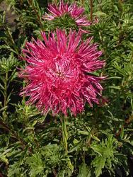 Callistephus chinensis Karmín. červená 2g
