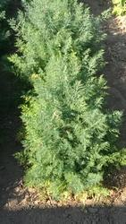 Dill Courland 10g