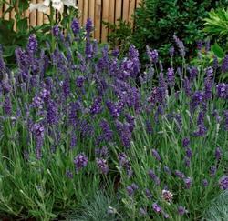 Lavandula ang. Ellagance Purple 250s - 1