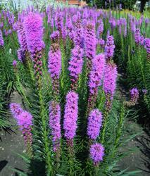 Liatris spicata Floristan Violet 1g
