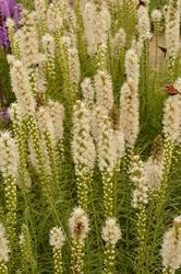 Liatris spicata Floristan White 1g