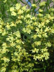 Limonium Qis Yellow 2g - 1